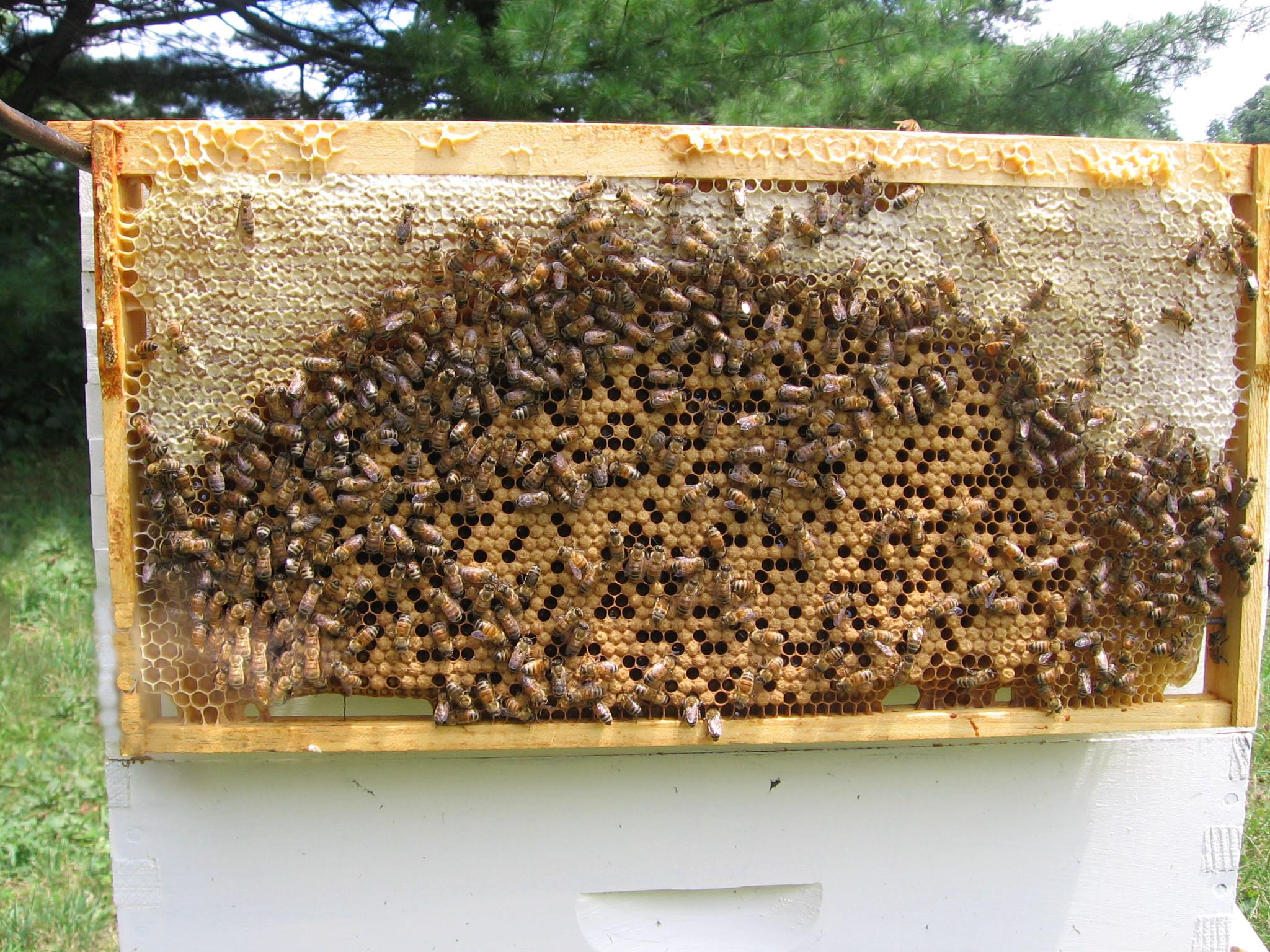 A Nice Frame of Italian Honey Bees