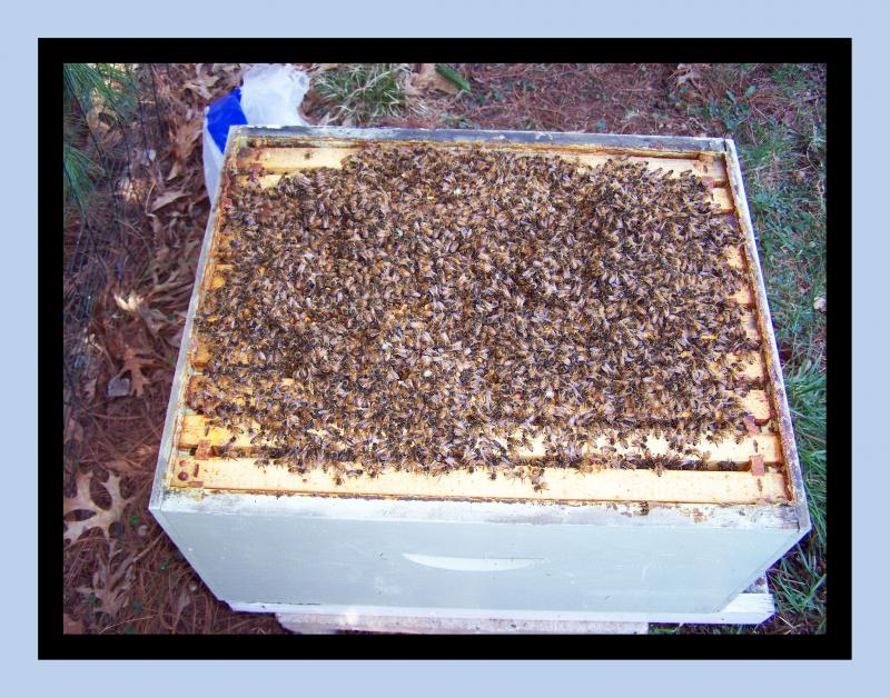 NICE BOX OF ITALIAN HONEY BEES